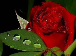 fd Copy Optimized 300x221 خواص شگفت انگیز گل رز