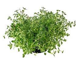 avishan Optimized1 گیاه درمانی